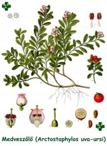Arctostaphylosuva-ursi)