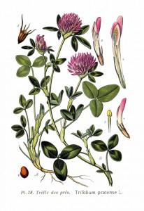 Trifolium_pratense_L
