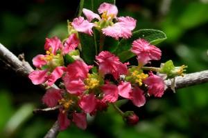 acerola-barbados-cherry-bloom