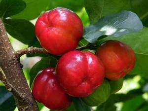 acerolafruit