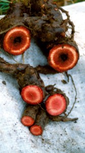 pelargonium-sidoides2
