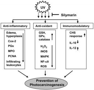 silymarine1