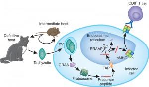 toxoplasma g