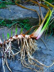 calamus-root
