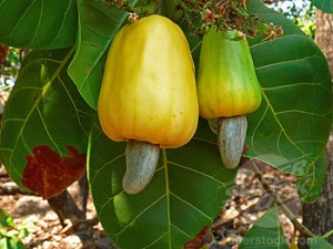 Cashew apples, Anacardium occidentale, Ratnagiri, Maharashtra, India