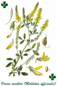 melilotus_officinalis1