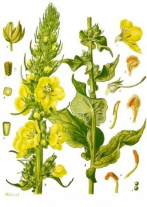 Verbascum_phlomoides