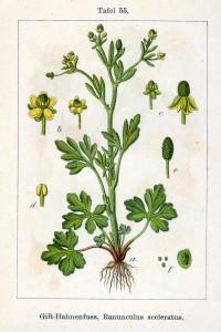 Ranunculus_sceleratus