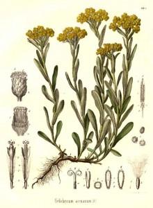 helichrysum1