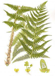dryopteris-filix-mas1