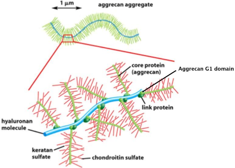 a porc-íncsontok kötőszövetének fehérjekomponense)